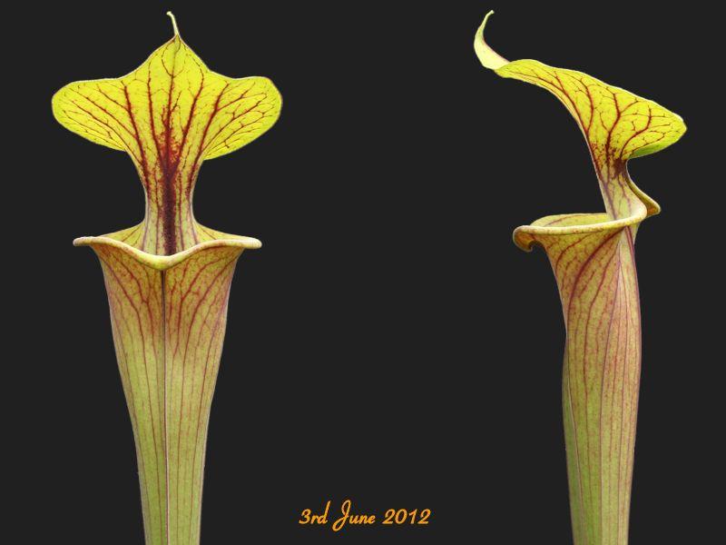 Carnivore Sarracenia flava var Flava-Large NC